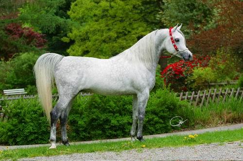 الحصان العربي lahab10.jpg